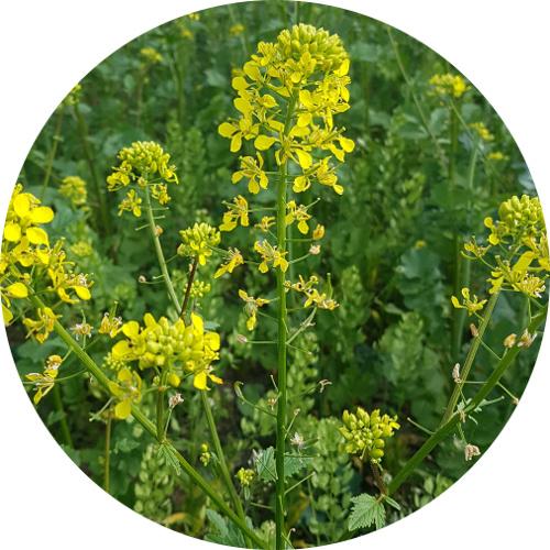 FALTA-mustard-circulo